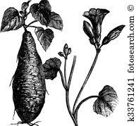 Convolvulaceae Clipart EPS Images. 4 convolvulaceae clip art.