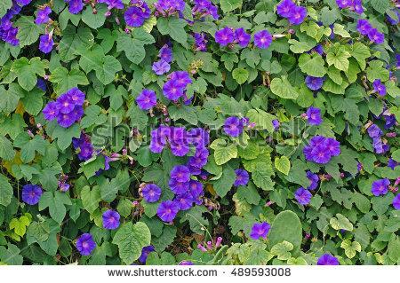 Convolvulaceae Stock Photos, Royalty.