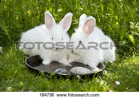Stock Images of White Angora Rabbit. Two young (8 weeks old.