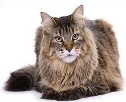 Free Maine Coon Cat Clipart.