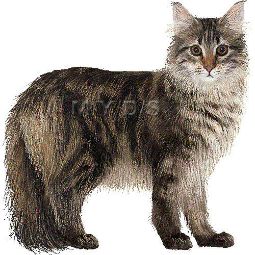Maine Coon clipart graphics (Free clip art.