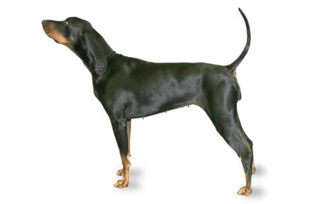 Black and Tan Coonhound Dog Breed Information, Pictures.