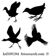Coot Clip Art and Illustration. 11 coot clipart vector EPS images.