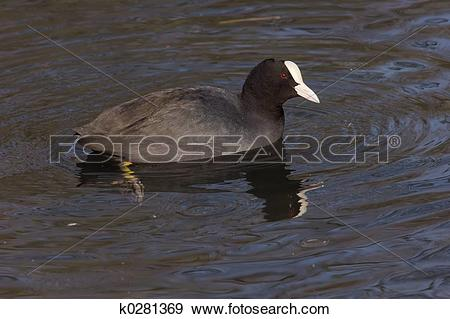 Stock Photograph of Eurasian coot 2 k0281369.