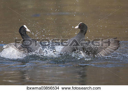"Stock Photo of ""Eurasian Coots (Fulica atra), North Hesse, Hesse."