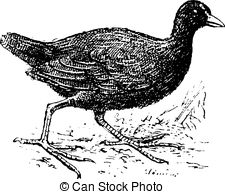 Coots Stock Illustrations. 18 Coots clip art images and royalty.