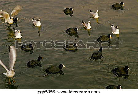 Stock Images of Flock of coots and blackheaded gulls on pond.