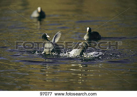 Picture of two Eurasian coots.