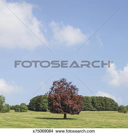 Stock Photo of Copper beech tree (Fagus sylvatica). x75069084.