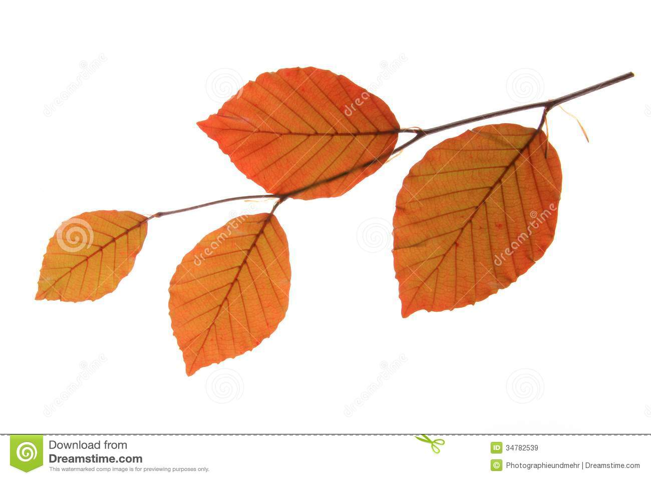 Copper Beech (Fagus Sylvatica F Purpurea) Royalty Free Stock.