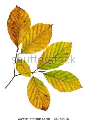 Copper Beech Tree Stock Images, Royalty.