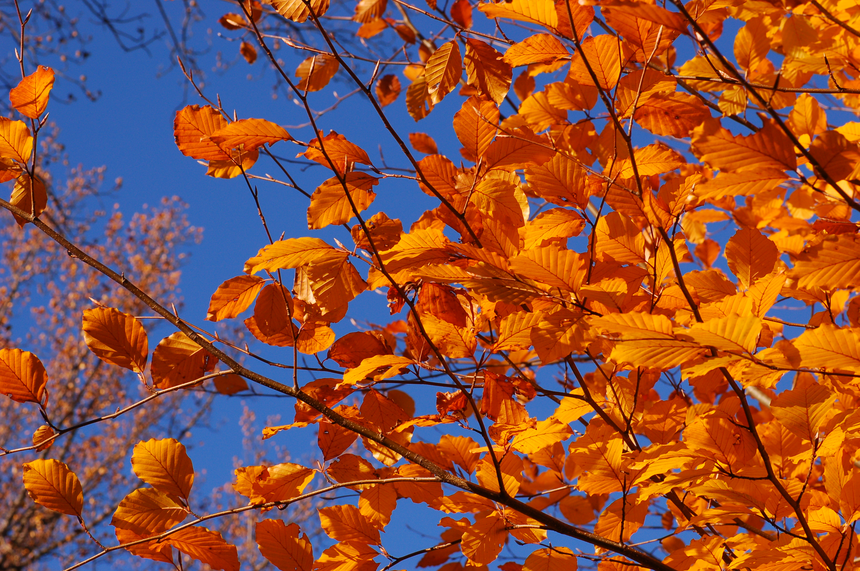 Autumn Leaves.