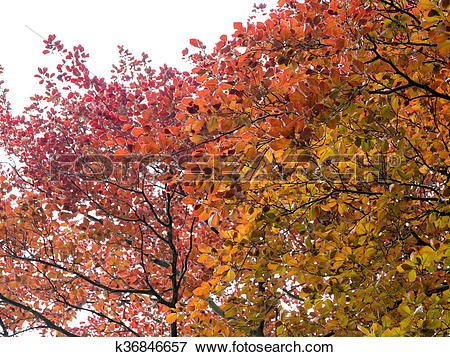 Picture of Copper Beech k36846657.