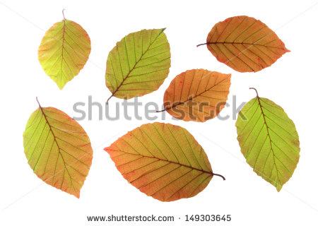 Copper Beech Leaf Stock Photos, Royalty.