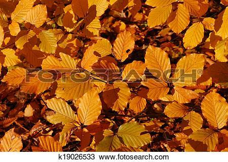 Stock Photo of Copper Beech Tree Autumn Leaves k19026533.