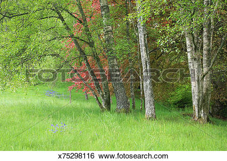 Stock Images of Spring birch trees and copper beech on edge of.