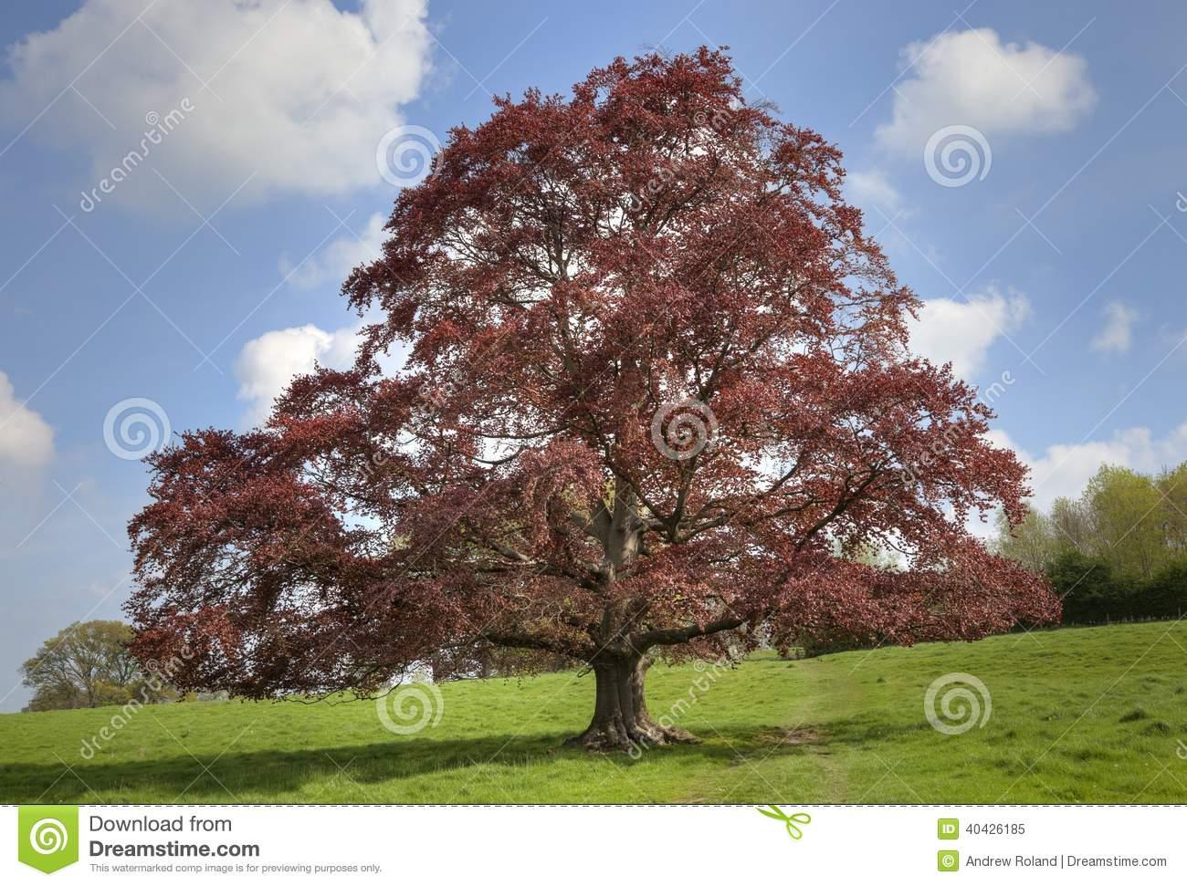 Copper Beech Tree Stock Photo.