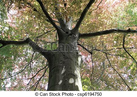 Stock Photography of copper beech, tree.
