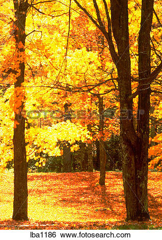 Stock Images of Maples trees with bright yellow and orange fall.