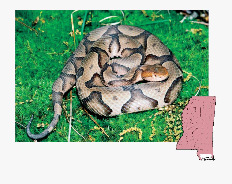 Venomous Snakes Of Copperhead Agkistrodon.