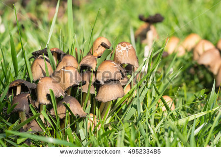 Lat.fungi Stock Photos, Royalty.