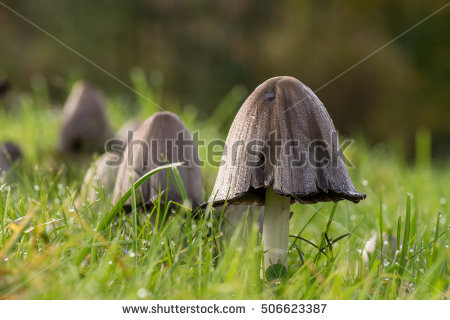 Coprinus Mushrooms In Lawn Stock Photos, Royalty.