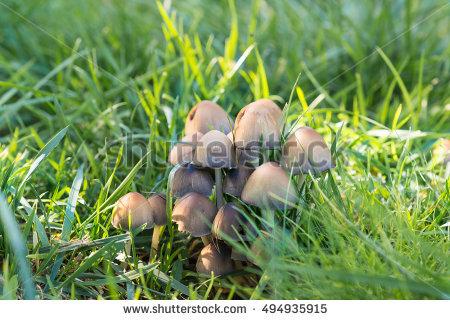 Edible Grey Grow Mushrooms Up Stock Images, Royalty.