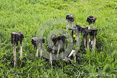 Poisonous Mushrooms, Coprinus Atramentarius Stock Photo.