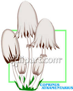 Atramentarius Mushrooms.