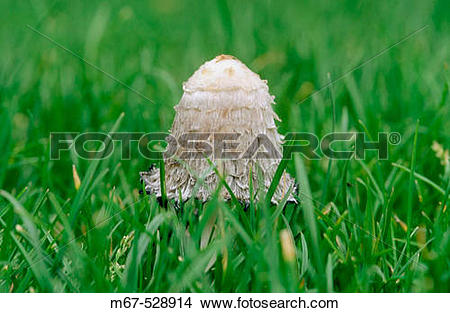 Stock Photo of Shaggy Ink Cap (Coprinus comatus) fungus in grass.