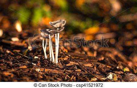 Picture of Mica Cap (Coprinus micaceus) mushrooms near a willow.