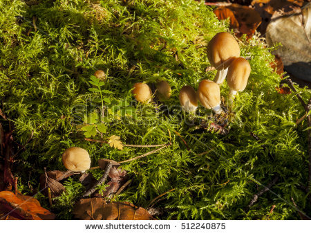 Coprinus Stock Photos, Royalty.