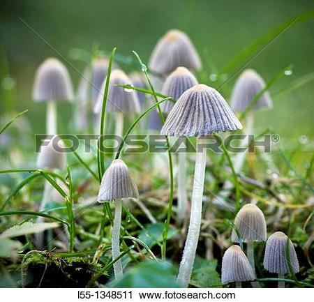 Stock Photography of Coprinus disseminatus l55.