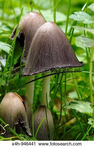 Stock Photography of Common Inkcap, Coprinus atrimentarius, Wales.