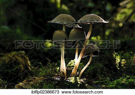"Stock Photo of ""Glistening Inkcap (Coprinus micaceus), fruiting."