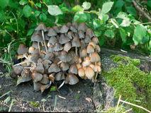Glistening Ink Cap Fungi Stock Photo.