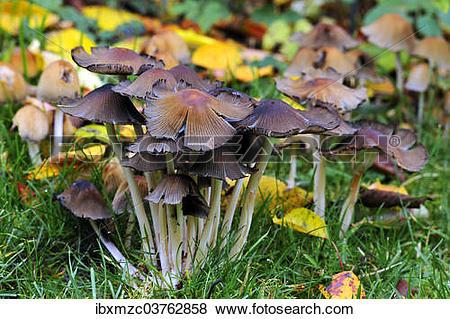 """Pictures of """"Mica Cap (Coprinus micaceus), Middle Franconia."""
