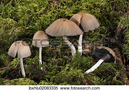 """Stock Image of """"Mica Cap or Glistening Inky Cap (Coprinus micaceus."""