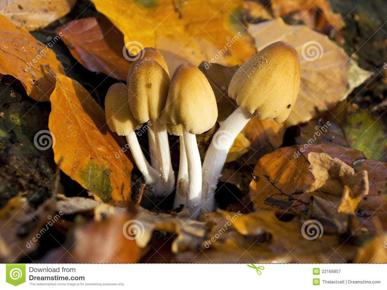 Common Ink Cap Fungus Coprinus Micaceus Royalty Free Stock.
