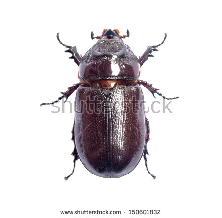Dung Beetle Isolated Stock Photos, Royalty.