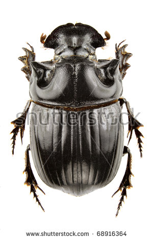 Dung beetles beetle Stock Photos, Images, & Pictures.