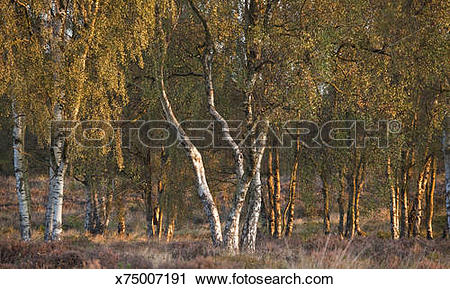 Stock Photography of Copse of Silver Birch in autumn Cannock Chase.