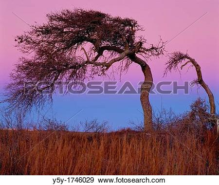Stock Photograph of Last remaining copse of oak trees on North.
