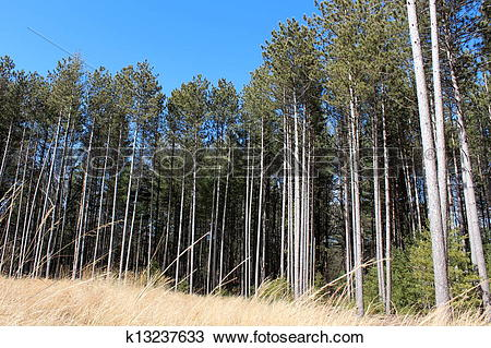 Stock Photo of Gorgeous copse of tall pine trees k13237633.