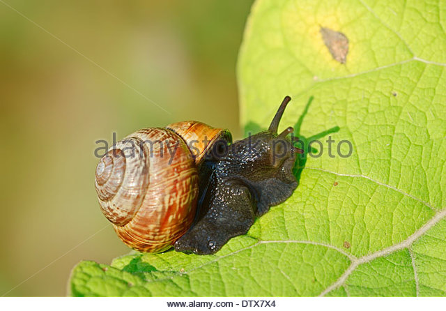 Orchard Snail Stock Photos & Orchard Snail Stock Images.