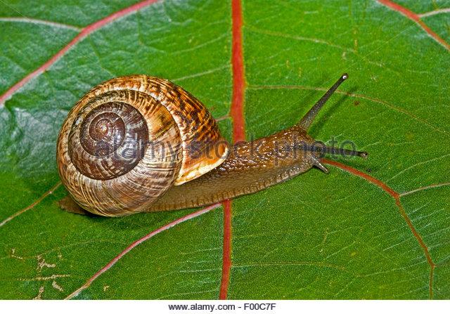 Snails On Leaf Stock Photos & Snails On Leaf Stock Images.