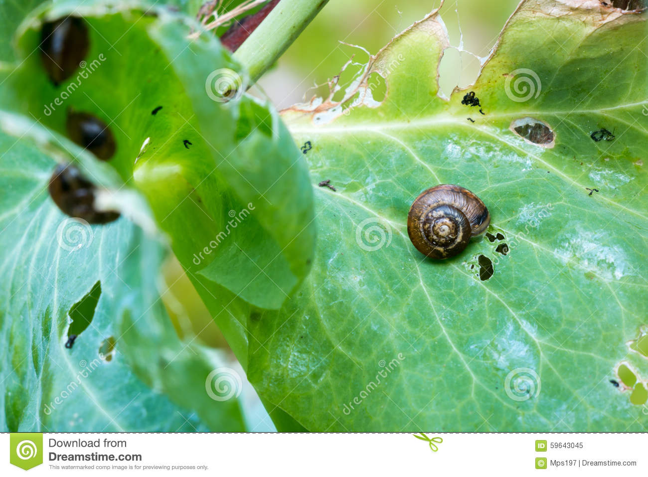 Copse Snails Eating Green Pea Leaves Stock Photo.