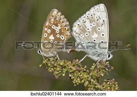 "Stock Photo of ""Chalkhill Blue butterflies (Lysandra coridon."