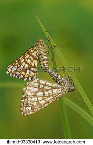 "Stock Photograph of ""Latticed Heath (Chiasmia clathrata."