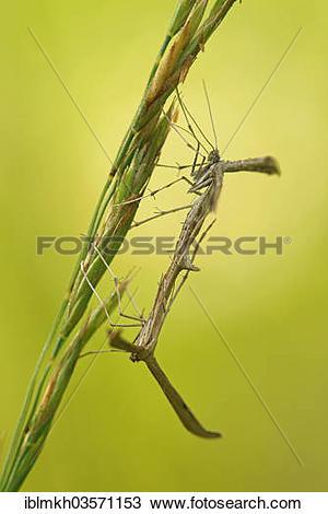 """Stock Photo of """"Yarrow Plume Moths (Gillmeria pallidactyla."""